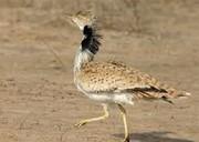 دستگیری شکارچی غیر مجاز با ۶ پرنده کمیاب در نایین