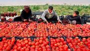 دلیل رفت و برگشت قیمت گوجه فرنگی چه بود؟