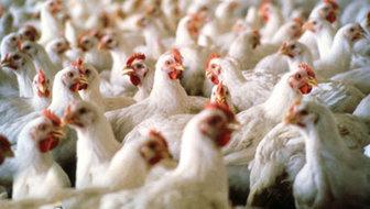 کاهش قیمت مرغ در بازار آزاد