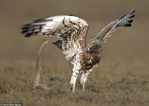 لحظات نفسگیر نبرد عقاب با مار را ببینید