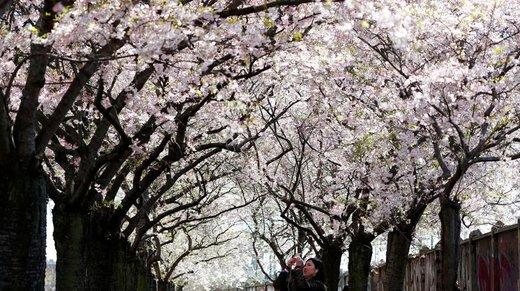 شکوفه های بهاری در آلمان