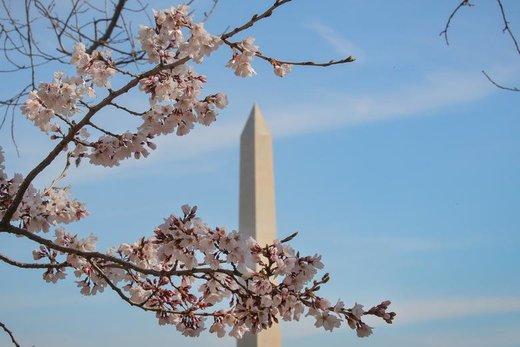 شکوفه های بهاری در واشینگتن