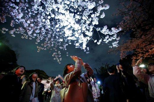 شکوفه های بهاری در ژاپن
