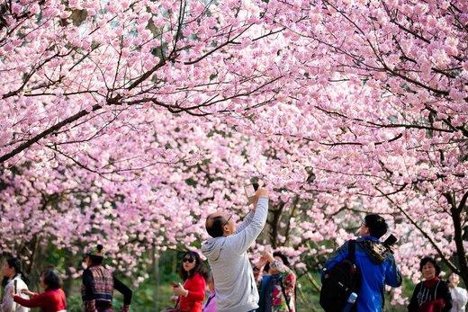 شکوفه های بهاری در چین