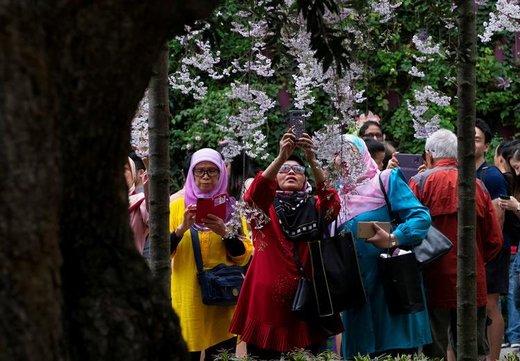 شکوفه های بهاری در سنگاپور