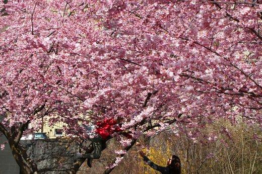 شکوفه های بهاری در سوئیس
