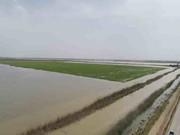 خسارت سیلاب به ۳۰ هزار هکتار از مزارع نیشکر خوزستان