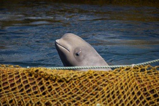 تصویری از محل زندانی بودن ۱۰۰ نهنگ در نزدیکی شهر بندری ناخودکا واقع در حاشیه دریای ژاپن، در سرزمین پریمورسکی روسیه