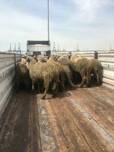 واقعیت ماجرای صادرات گوسفند زنده به قطر چیست؟