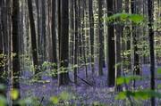 تصاویر | جنگل آبی بلژیک را ببینید