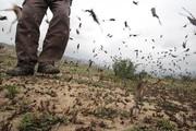 مبارزه با ملخهای صحرایی در سیستانوبلوچستان در حال انجام است