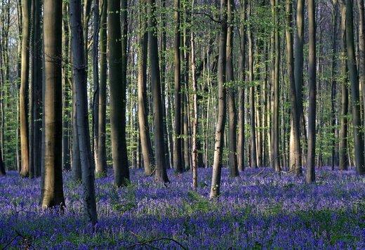جنگل هالربوس بلژیک