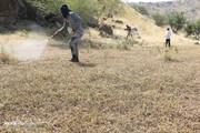 تصاویر | هجوم ملخهای صحرایی به هرمزگان