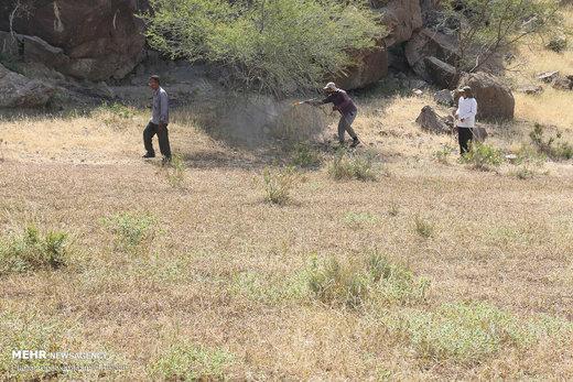 هجوم ملخهای صحرایی به منطقه هشتبندی هرمزگان