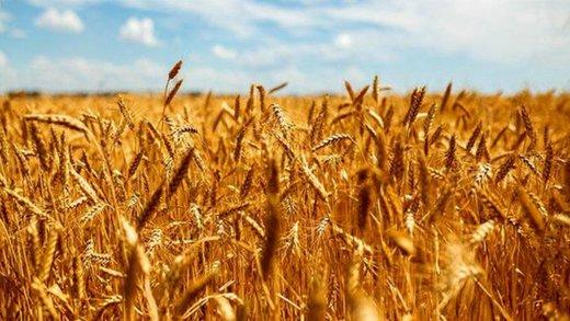 پیشبینی افزایش ۳۰ درصدی برداشت گندم در آذربایجانغربی