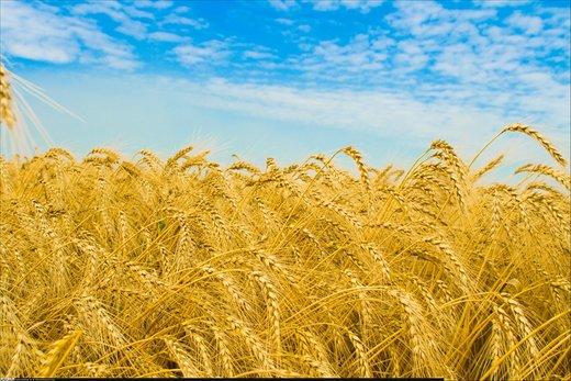 آیا کمبود گندم در کمین کشور است؟