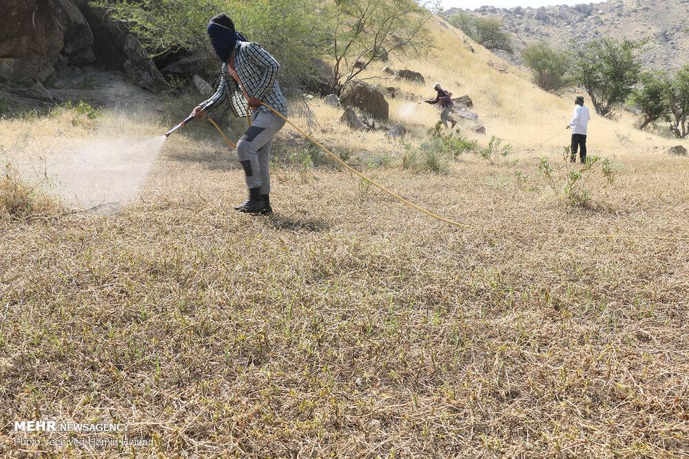 تصاویر   هجوم ملخهای صحرایی به هرمزگان