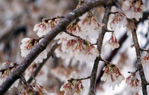 خسارت سنگین برف و سرما به کشاورزی آذربایجانغربی