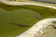 فیلم | مزرعه تکثیر و پرورش تمساح در چابهار