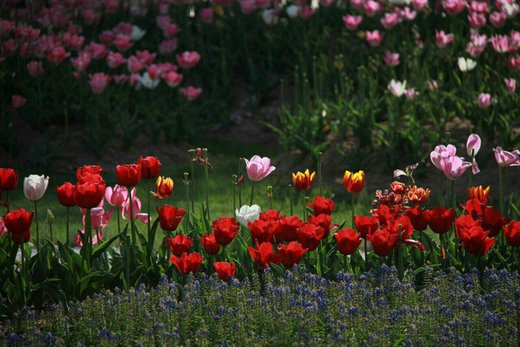 گوللرباغی ارومیه میزبان هفتمین جشنواره گلها
