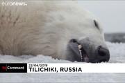 فیلم | عملیات بازگرداندن خرس قطبی که به روستا آمده بود