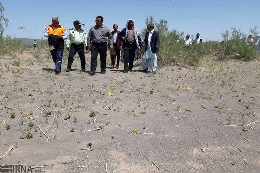 آلوده شدن 300 هکتار از مراتع ریگان به ملخ صحرایی