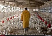 اعتراض مرغداران به قیمت ۱۱.۵۰۰ تومانی؛ مرغ را گران کنید
