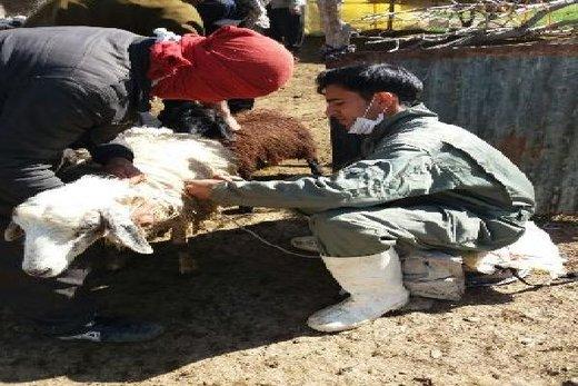 واکسیناسیون دامهای مناطق سیلزده شهرستان لرستان توسط اکیپهای دامپزشکی ایلام