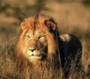 پس از ۸۰ سال شیر نر ایرانی از انگلیس به خاک وطن برگشت