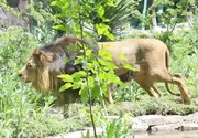 فیلم | شیر نر ایرانی در باغ وحش ارم چه میکند؟