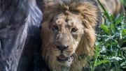 بازگشت شیر ایرانی به ایران؛ برای «کامران» خوشحال باشیم یا نگران؟