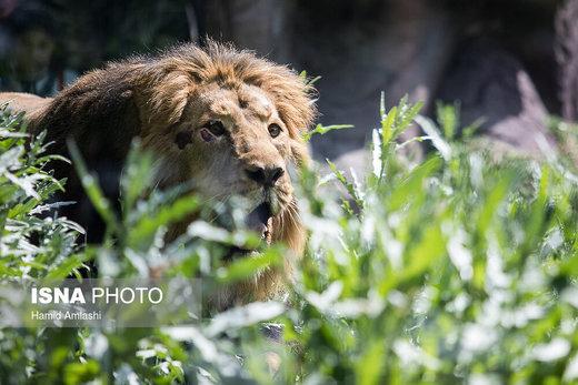 «سونیکا» جایگزین کامران در باغ وحش انگلیس/ عکس