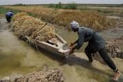 تصاویر | برداشت گندم از مزارع به زیر آب رفته شادگان