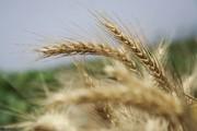 پیشبینی خرید تضمینی ۶۰۰ هزار تن گندم در آذربایجانغربی