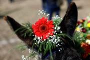 تصاویر   مراسم روز قدردانی از الاغ در مکزیک!