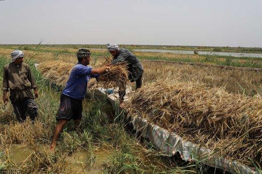 برداشت گندم از مزارع به زیر آب رفته شادگان