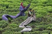 تصاویر | چای گیلان؛ از اردیبهشت مزارع تا فرآوری در کارخانه