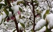 سرمازدگی ۱۰ هزار میلیاردتومان به باغات خسارت زد