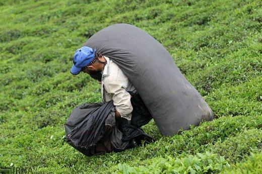 برداشت چای و فراوری آن در شهرستان لاهیجان
