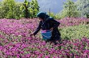 تصاویر | فصل برداشت در پایتخت گل گاوزبان ایران