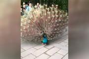 فیلم | لحظهای که طاووس پرهایش را باز میکند