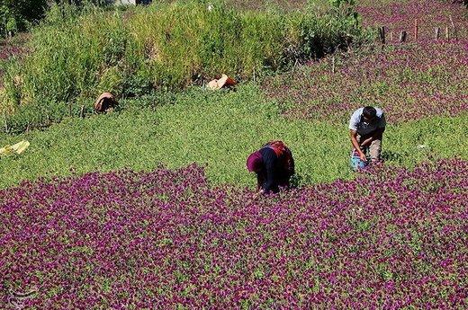 برداشت گل گاو زبان در منطقه اشکور گیلان
