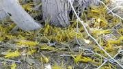 ملخهای مهاجم ۱۰ میلیارد تومان «خرج سم» روی دست کشور گذاشتند