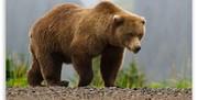 یک مرد از حمله ۳ خرس گرسنه در میانه جان به در برد
