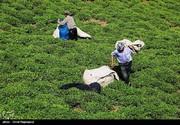 برداشت چای بهاره از مزارع املش گیلان