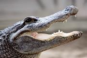 فیلم | فرار تمساح از دست پلیس با یک فریب دیدنی!