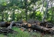 قطع ۱۵۰ درخت کهنسال در اردوگاه فجر همدان