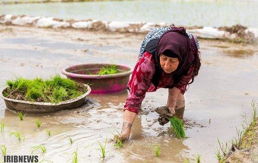 آغاز کشت شالی در شمال ایران