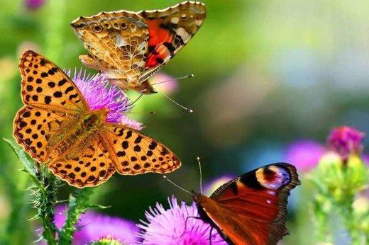 پروانههای زیبای مهاجم به تهران خطرناک نیستند