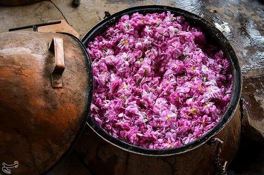 جشنواره گلابگیری در کاشان